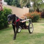 Una seconda possibilità per i cani disabili