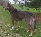 L'Alaskan Husky non è una razza ma una categoria di cani.