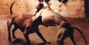 """Il giornale messicano """"Excelsior"""" ha reso noto un nuovo business: le lotte clandestine tra cani."""