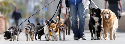 A volte li si vede con uno o due cani appartenenti alla stessa famiglia, altre volte portano a spasso un vero esercito a quattro zampe.