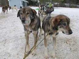 """.  Un cane """"inutile"""" per molti ma non per i proprietari del canile dove vive. Loro sapevano che Gonzo non poteva finire così, aveva bisogno di correre!"""