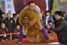 i Mastini Tibetani sono cani grandi, dotati di una folta criniera, testa leonina e pelo abbondante.