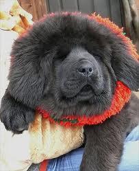 Questo cane ha tipicamente la pelle del muso flaccida e il proprietario ha deciso di sottoporlo ad un lifting.