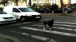 questi cani di nessuno, cani condannati dal governo, oggi vengono usati come esempio di attraversamento civile delle strade!