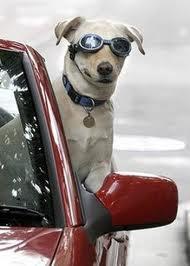 Speriamo che arrivino presto in commercio delle cinture di sicurezza adeguate e che servano realmente a salvare la vita al nostro cane nel caso di incidenti!
