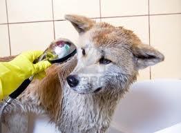 Nel migliore dei casi il toilettatore comprensivo ci permette di stare vicini al nostro cane il quale potrebbe spaventarsi dato il posto che non conosce, un estraneo che lo manipola, l'acqua, gli odori, il temuto phon...