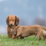 Un Volpino tenderà ad abbaiare molto in quanto cane-sentinella, il simpatico Bassotto starà spessissimo con il naso per terra poiché è un cane da caccia...è una questione di genetica e selezione da parte dell'uomo.
