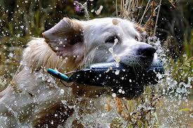 Allevare è però compito complesso. Tenere insieme tutti i molteplici aspetti che selezionano il cane è, spesso, troppo difficile ed ecco che pseudo allevatori, con motivazioni che non li giustificano affatto, scindono la complessità in operazioni semplici e perseguono le parti anziché il tutto : cane da lavoro o cane da bellezza.