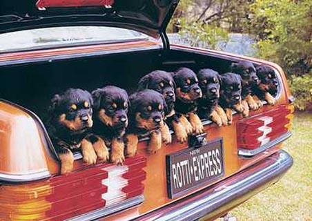 I cuccioli, così come i bambini, sembrano essere particolarmente soggetti al mal d'auto.