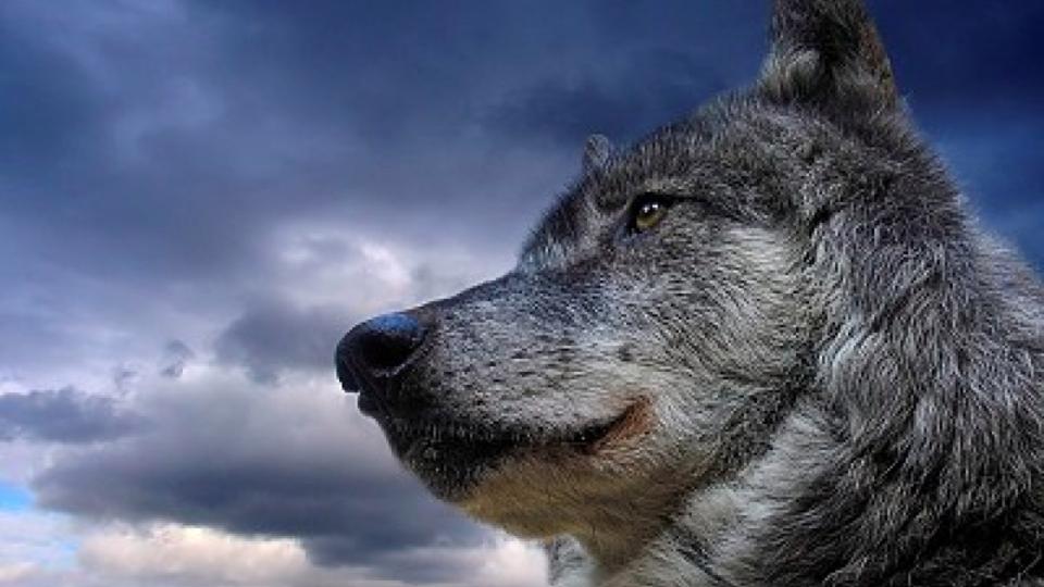 Un nuovo studio del DNA mitocondriale nei reperti fossili di canidi, ha dimostrato che i lupi sono stati addomesticati in europa