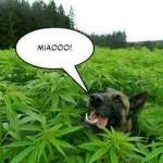 Stati Uniti: Marijuana per fini terapeutici nei cani.