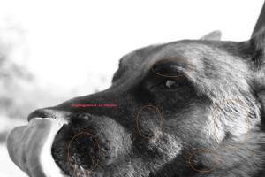 Le vibrisse nel cane